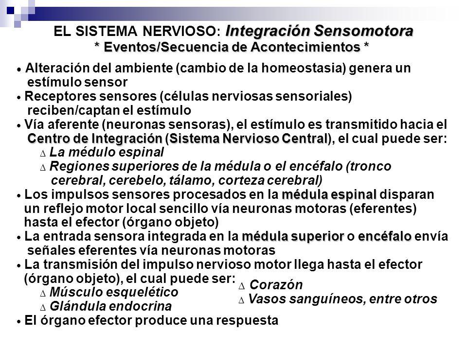 Integración Sensomotora EL SISTEMA NERVIOSO : Integración Sensomotora * Eventos/Secuencia de Acontecimientos * Alteración del ambiente (cambio de la homeostasia) genera un estímulo sensor Receptores sensores (células nerviosas sensoriales) reciben/captan el estímulo Vía aferente (neuronas sensoras), el estímulo es transmitido hacia el Centro de IntegraciónSistema Nervioso Central Centro de Integración (Sistema Nervioso Central), el cual puede ser: La médulo espinal Regiones superiores de la médula o el encéfalo (tronco cerebral, cerebelo, tálamo, corteza cerebral) médula espinal Los impulsos sensores procesados en la médula espinal disparan un reflejo motor local sencillo vía neuronas motoras (eferentes) hasta el efector (órgano objeto) médula superiorencéfalo La entrada sensora integrada en la médula superior o encéfalo envía señales eferentes vía neuronas motoras La transmisión del impulso nervioso motor llega hasta el efector (órgano objeto), el cual puede ser: Músculo esquelético Glándula endocrina El órgano efector produce una respuesta Corazón Vasos sanguíneos, entre otros