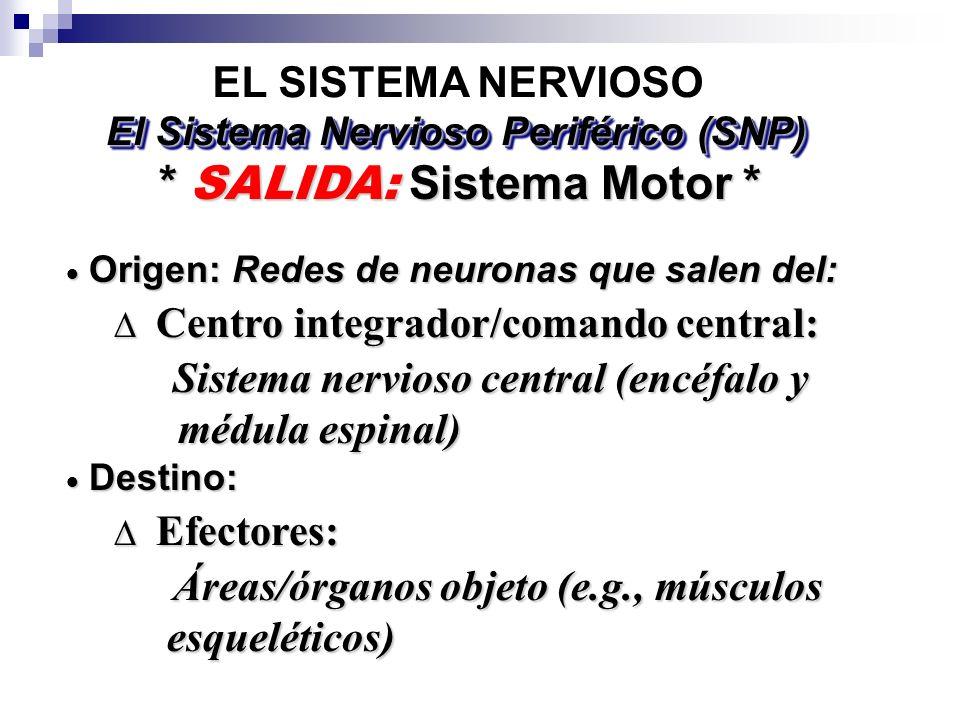 EL SISTEMA NERVIOSO * SALIDA: Sistema Motor * El Sistema Nervioso Periférico (SNP) Origen: Redes de neuronas que salen del: Origen: Redes de neuronas que salen del: Centro integrador/comando central: Centro integrador/comando central: Sistema nervioso central (encéfalo y Sistema nervioso central (encéfalo y médula espinal) médula espinal) Destino: Destino: Efectores: Efectores: Áreas/órganos objeto (e.g., músculos Áreas/órganos objeto (e.g., músculos esqueléticos) esqueléticos)
