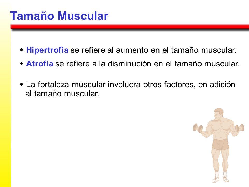Tamaño Muscular Hipertrofia se refiere al aumento en el tamaño muscular. Atrofia se refiere a la disminución en el tamaño muscular. La fortaleza muscu