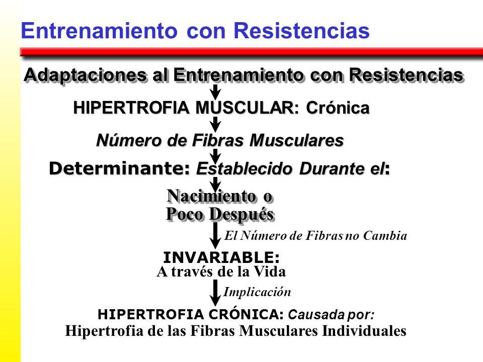 Entrenamiento con Resistencias Adaptaciones al Entrenamiento con Resistencias HIPERTROFIA MUSCULAR: Crónica Número de Fibras Musculares Determinante: