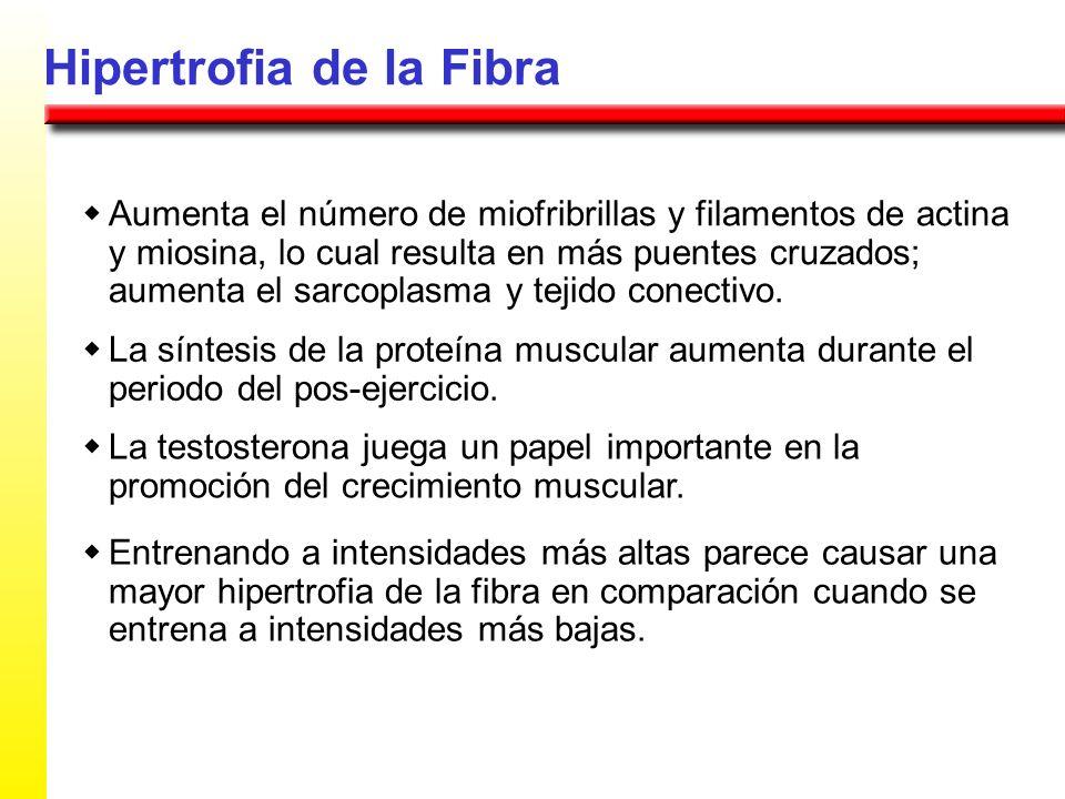 Hipertrofia de la Fibra Aumenta el número de miofribrillas y filamentos de actina y miosina, lo cual resulta en más puentes cruzados; aumenta el sarco