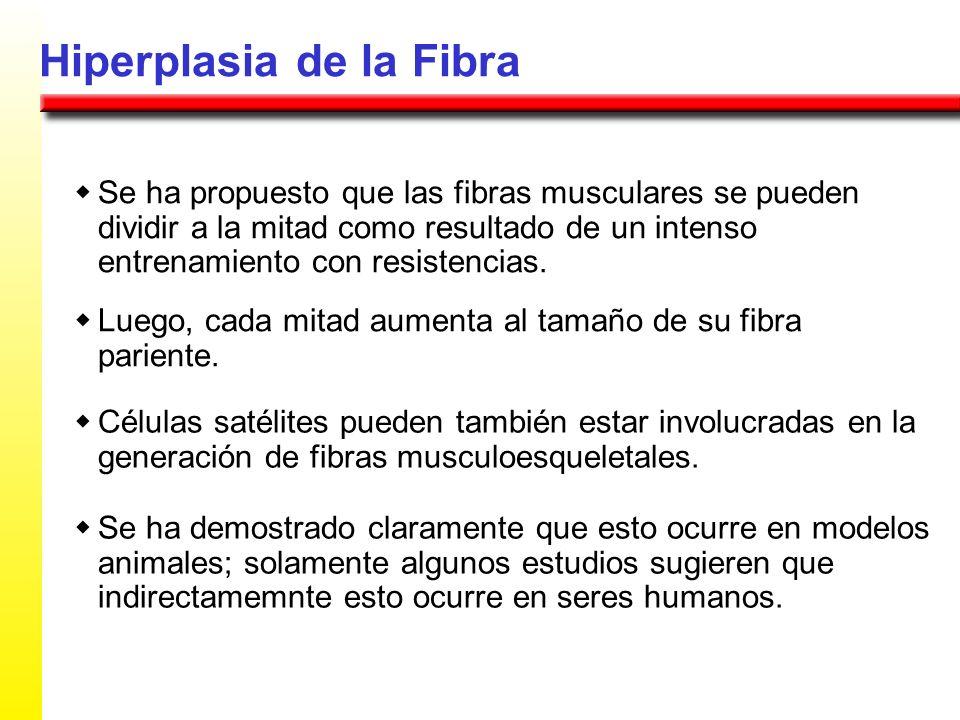 Hiperplasia de la Fibra Se ha propuesto que las fibras musculares se pueden dividir a la mitad como resultado de un intenso entrenamiento con resisten