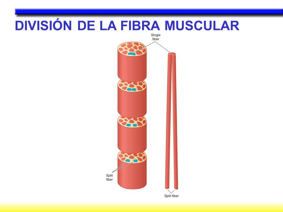 DIVISIÓN DE LA FIBRA MUSCULAR