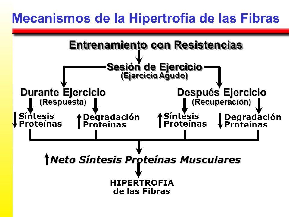 Mecanismos de la Hipertrofia de las Fibras Entrenamiento con Resistencias Durante Ejercicio (Respuesta) Degradación Proteínas Sesión de Ejercicio (Eje