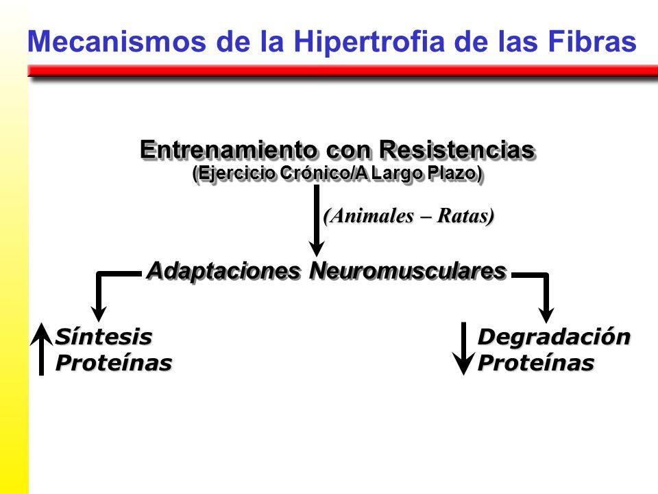 Mecanismos de la Hipertrofia de las Fibras Entrenamiento con Resistencias (Ejercicio Crónico/A Largo Plazo) Entrenamiento con Resistencias (Ejercicio