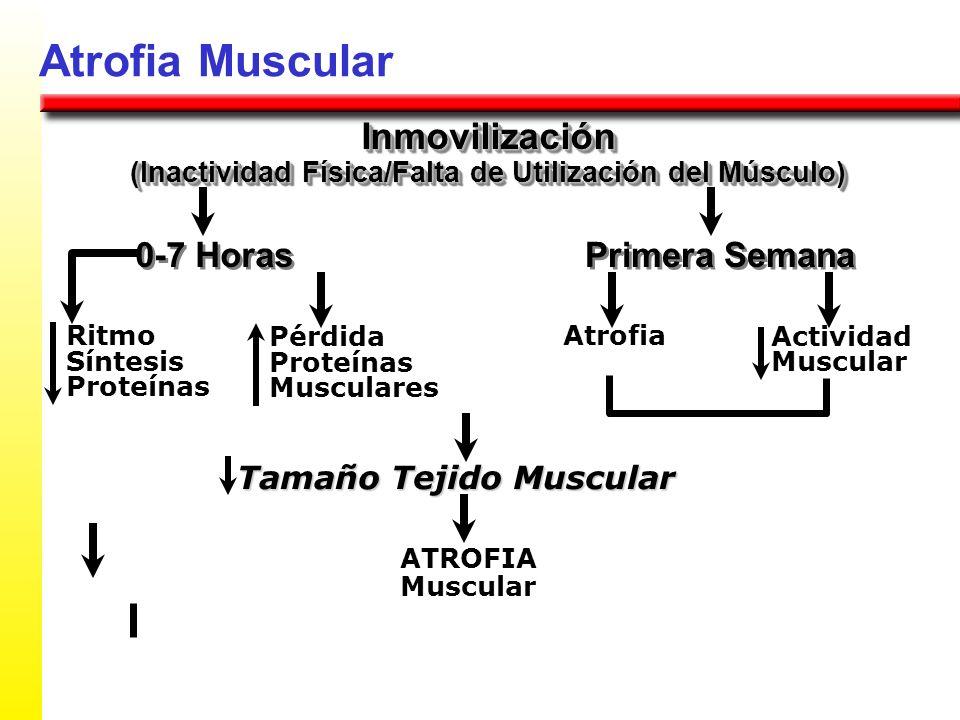 Atrofia Muscular Inmovilización (Inactividad Física/Falta de Utilización del Músculo) Inmovilización 0-7 Horas Tamaño Tejido Muscular ATROFIA Muscular