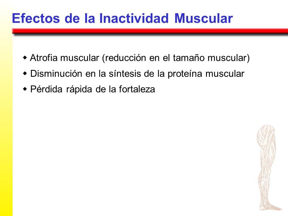 Efectos de la Inactividad Muscular Atrofia muscular (reducción en el tamaño muscular) Disminución en la síntesis de la proteína muscular Pérdida rápid