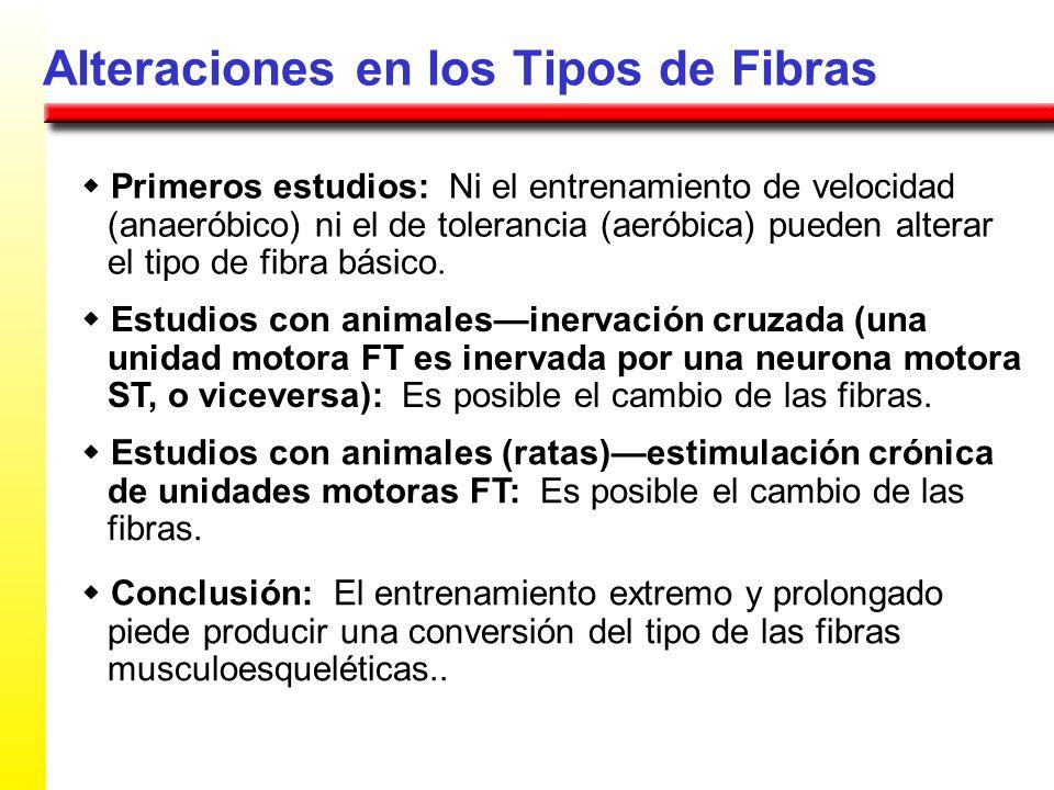 Alteraciones en los Tipos de Fibras Primeros estudios: Ni el entrenamiento de velocidad (anaeróbico) ni el de tolerancia (aeróbica) pueden alterar el