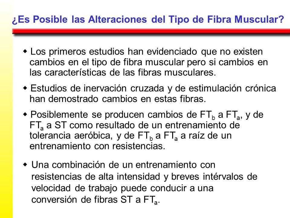 ¿Es Posible las Alteraciones del Tipo de Fibra Muscular? Los primeros estudios han evidenciado que no existen cambios en el tipo de fibra muscular per