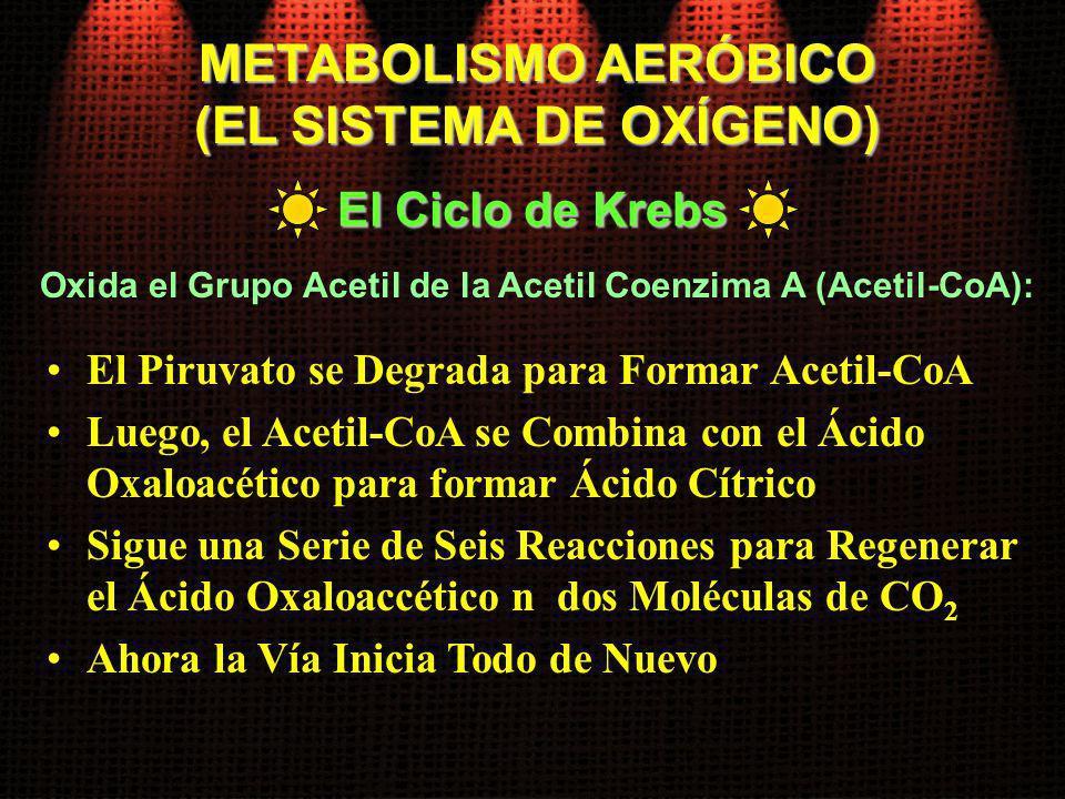 Oxida el Grupo Acetil de la Acetil Coenzima A (Acetil-CoA): El Ciclo de Krebs METABOLISMO AERÓBICO (EL SISTEMA DE OXÍGENO) El Piruvato se Degrada para
