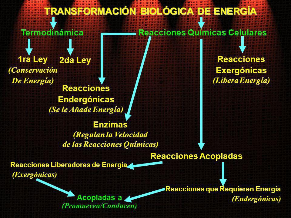 TRANSFORMACIÓN BIOLÓGICA DE ENERGÍA Termodinámica 1ra Ley (Conservación De Energía) Reacciones Químicas Celulares 2da Ley Reacciones Endergónicas (Se