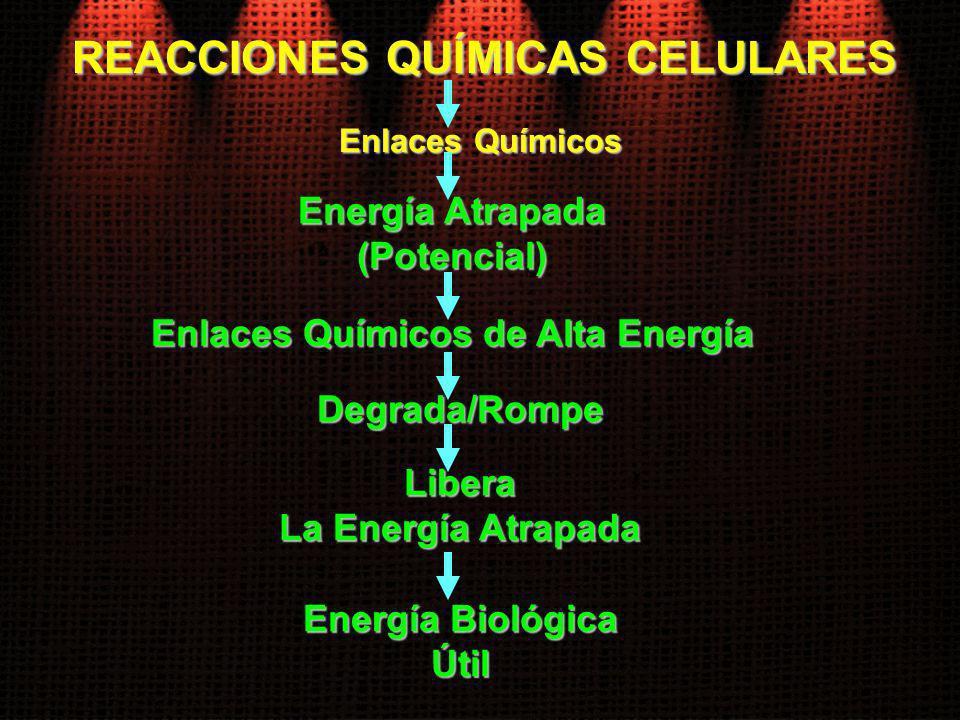 Enlaces Químicos Energía Atrapada (Potencial) REACCIONES QUÍMICAS CELULARES Enlaces Químicos de Alta Energía Degrada/Rompe Libera La Energía Atrapada