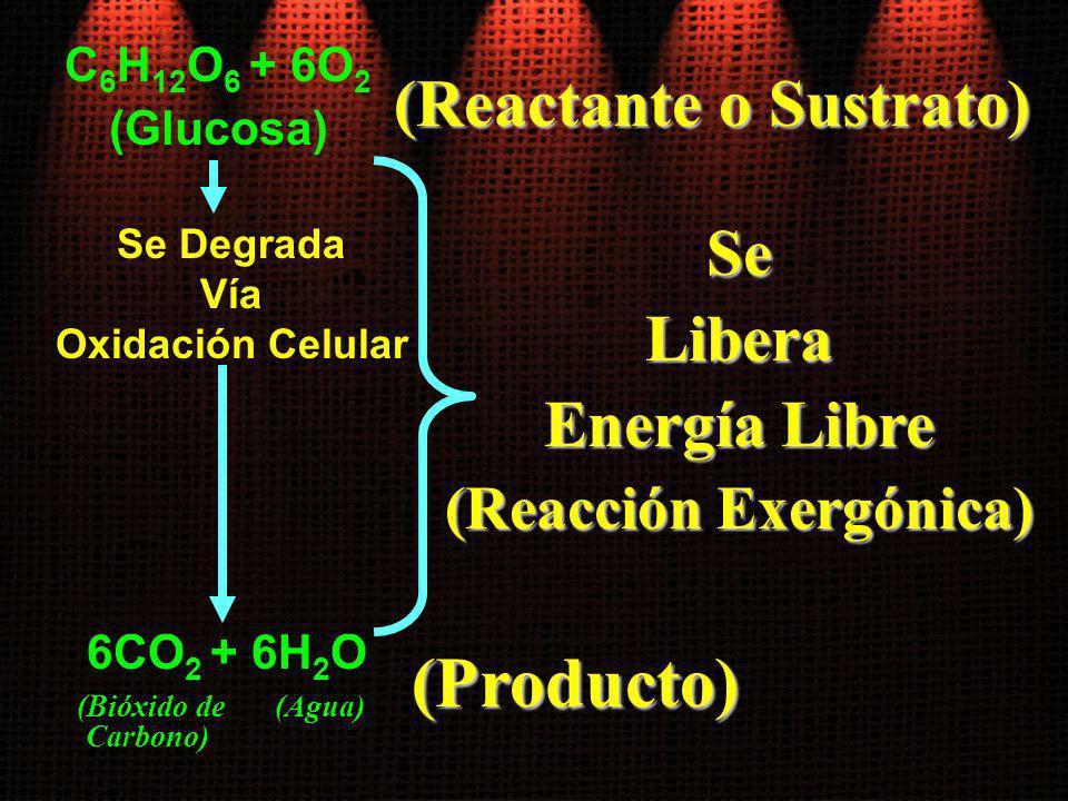 C 6 H 12 O 6 + 6O 2 (Glucosa) Se Degrada Vía Oxidación Celular 6CO 2 + 6H 2 O (Bióxido de Carbono) (Agua) (Reactante o Sustrato) (Producto) SeLibera E