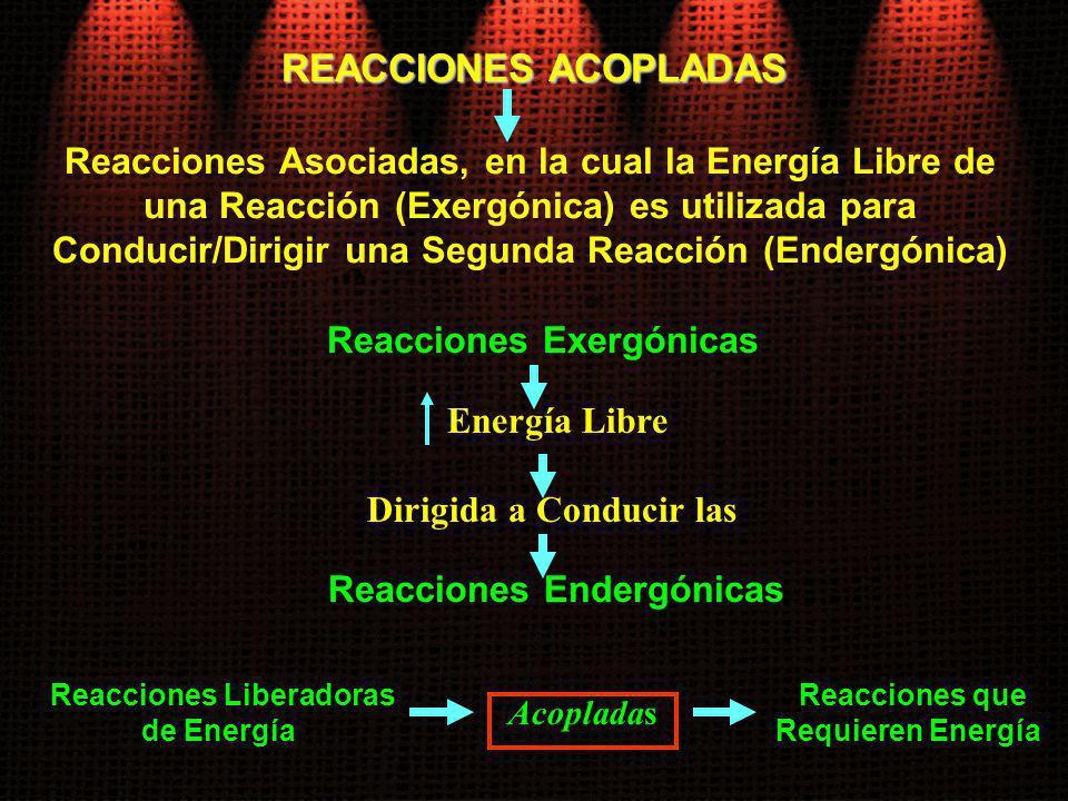 REACCIONES ACOPLADAS Reacciones Exergónicas Energía Libre Reacciones Liberadoras de Energía Reacciones Asociadas, en la cual la Energía Libre de una R