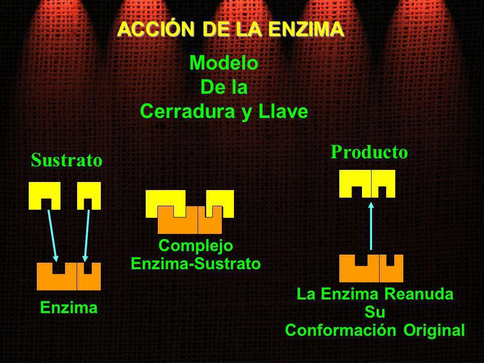 ACCIÓN DE LA ENZIMA Modelo De la Cerradura y Llave Sustrato Enzima Complejo Enzima-Sustrato Producto La Enzima Reanuda Su Conformación Original