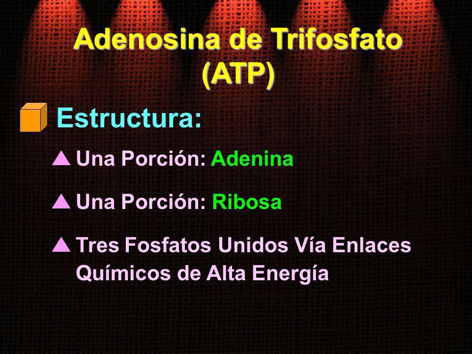 Adenosina de Trifosfato (ATP) Una Porción: Adenina Estructura: Una Porción: Ribosa Tres Fosfatos Unidos Vía Enlaces Químicos de Alta Energía