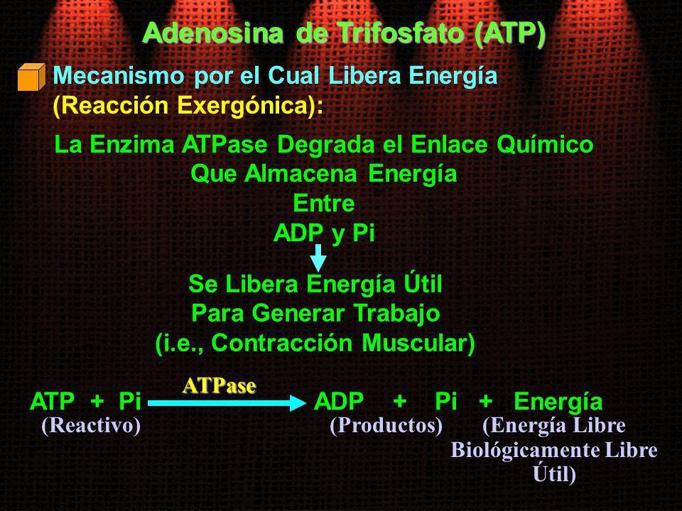 Mecanismo por el Cual Libera Energía (Reacción Exergónica): Adenosina de Trifosfato (ATP) La Enzima ATPase Degrada el Enlace Químico Que Almacena Ener