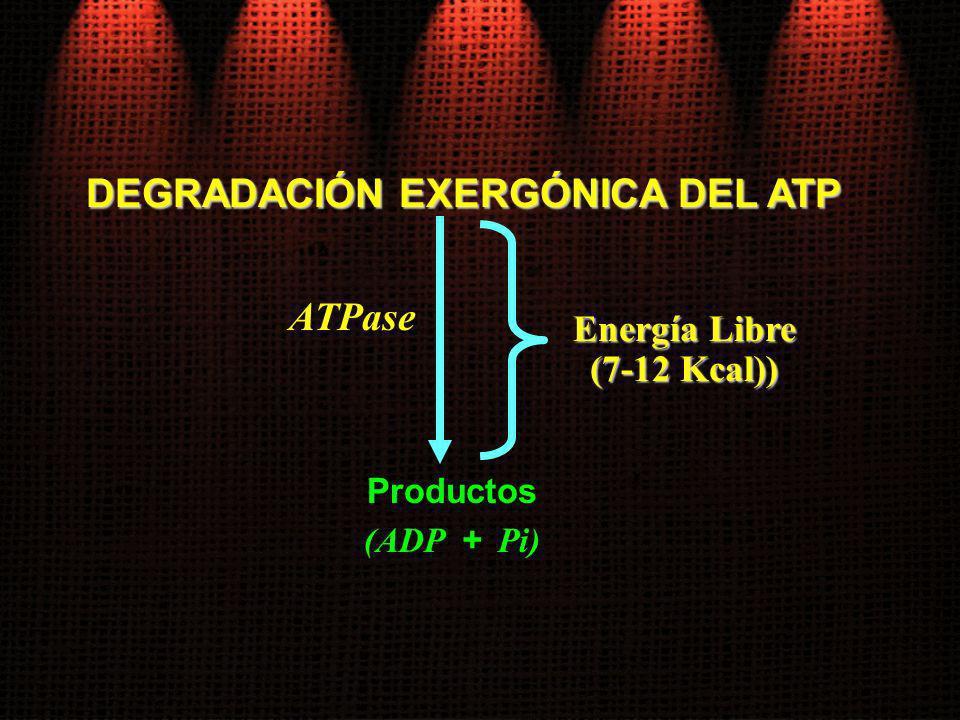 DEGRADACIÓN EXERGÓNICA DEL ATP Productos (ADP + Pi) Energía Libre (7-12 Kcal)) ATPase