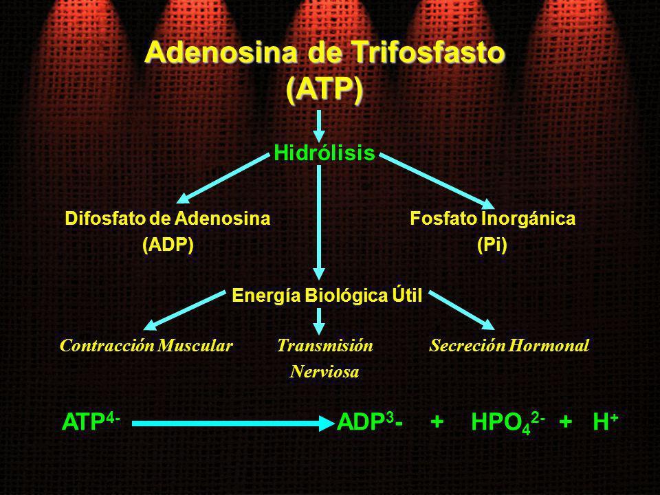 Adenosina de Trifosfasto (ATP) Hidrólisis Difosfato de Adenosina (ADP) Energía Biológica Útil Fosfato Inorgánica (Pi) Transmisión Nerviosa Contracción