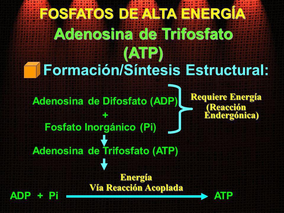 FOSFATOS DE ALTA ENERGÍA Formación/Síntesis Estructural: Adenosina de Trifosfato (ATP) Adenosina de Difosfato (ADP) Requiere Energía (Reacción Endergó