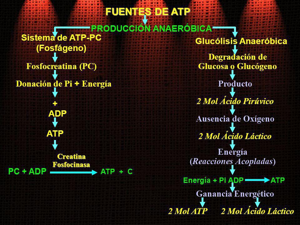 FUENTES DE ATP PRODUCCIÓN ANAERÓBICA Sistema de ATP-PC (Fosfágeno) Fosfocreatina (PC) Donación de Pi + Energía + ADP ATP PC + ADP ATP + C CreatinaFosf