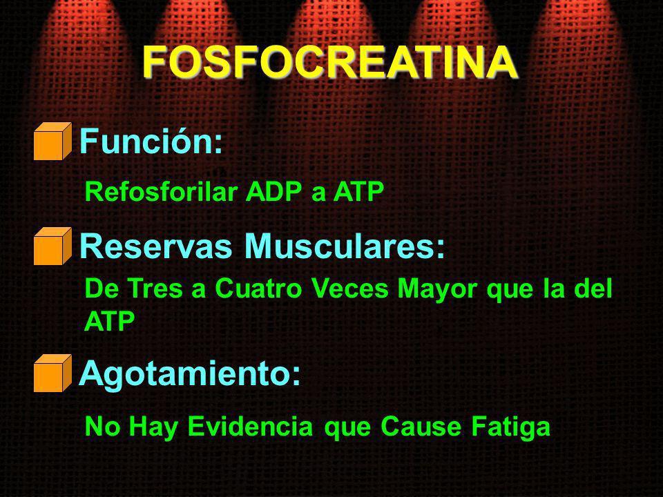 FOSFOCREATINA Función: Refosforilar ADP a ATP Reservas Musculares: De Tres a Cuatro Veces Mayor que la del ATP Agotamiento: No Hay Evidencia que Cause