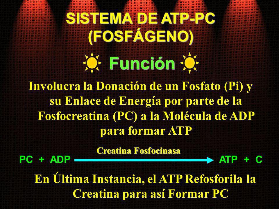 SISTEMA DE ATP-PC (FOSFÁGENO) Involucra la Donación de un Fosfato (Pi) y su Enlace de Energía por parte de la Fosfocreatina (PC) a la Molécula de ADP