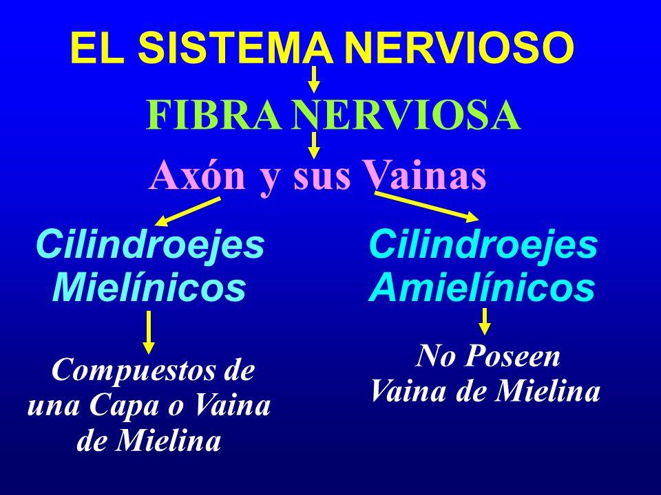 EL SISTEMA NERVIOSO Axón y sus Vainas Cilindroejes Mielínicos FIBRA NERVIOSA Cilindroejes Amielínicos Compuestos de una Capa o Vaina de Mielina No Pos