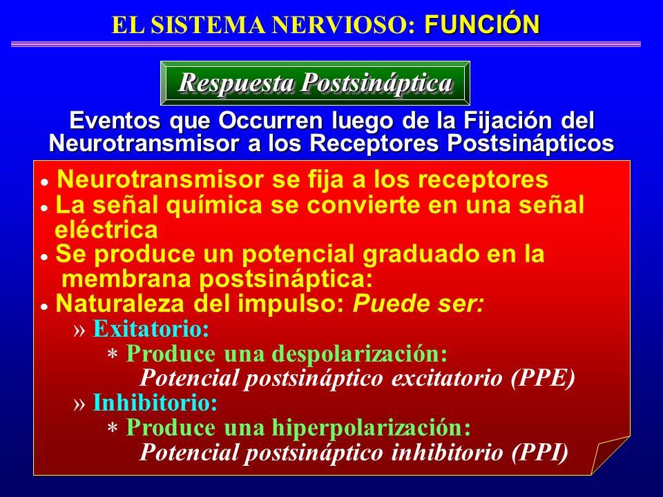 FUNCIÓN EL SISTEMA NERVIOSO: FUNCIÓN Eventos que Occurren luego de la Fijación del Neurotransmisor a los Receptores Postsinápticos Respuesta Postsináp