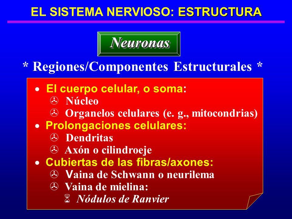 ESTRUCTURA EL SISTEMA NERVIOSO: ESTRUCTURA * Regiones/Componentes Estructurales * NeuronasNeuronas El cuerpo celular, o soma: Núcleo > Organelos celul
