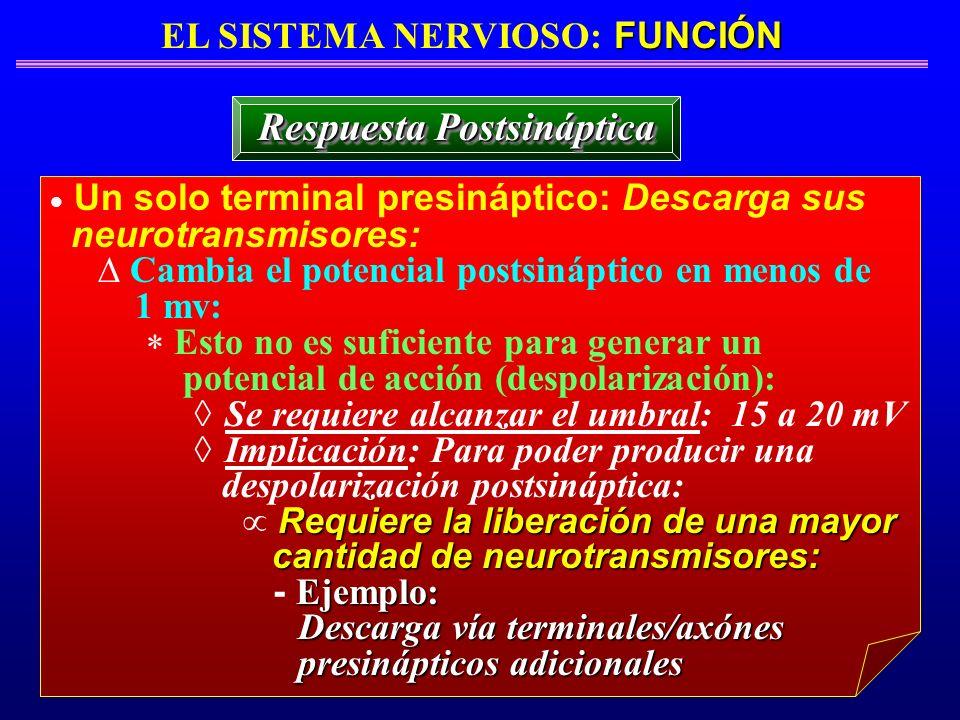 FUNCIÓN EL SISTEMA NERVIOSO: FUNCIÓN Respuesta Postsináptica Un solo terminal presináptico: Descarga sus neurotransmisores: Cambia el potencial postsi