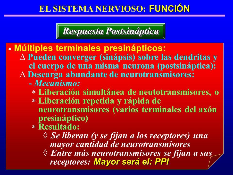 FUNCIÓN EL SISTEMA NERVIOSO: FUNCIÓN Respuesta Postsináptica Múltiples terminales presinápticos: Pueden converger (sinápsis) sobre las dendritas y el