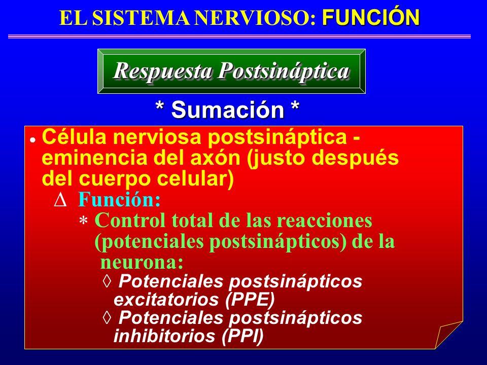 FUNCIÓN EL SISTEMA NERVIOSO: FUNCIÓN * Sumación * Respuesta Postsináptica Célula nerviosa postsináptica - eminencia del axón (justo después del cuerpo