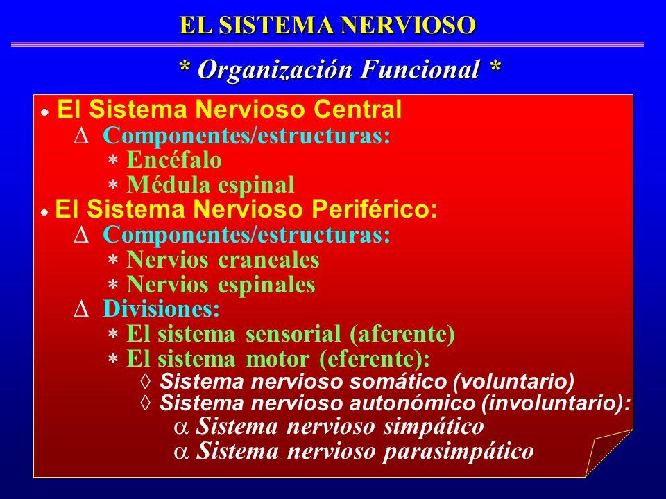 EL SISTEMA NERVIOSO * Organización Funcional * El Sistema Nervioso Central Componentes/estructuras: Encéfalo Médula espinal El Sistema Nervioso Perifé