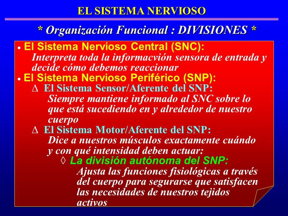El Sistema Nervioso Central (SNC): Interpreta toda la informacvión sensora de entrada y decide cómo debemos reaccionar El Sistema Nervioso Periférico