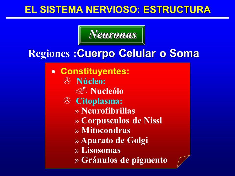 ESTRUCTURA EL SISTEMA NERVIOSO: ESTRUCTURA Cuerpo Celular o Soma Regiones : Cuerpo Celular o Soma NeuronasNeuronas Constituyentes: Núcleo:. Nucleólo >