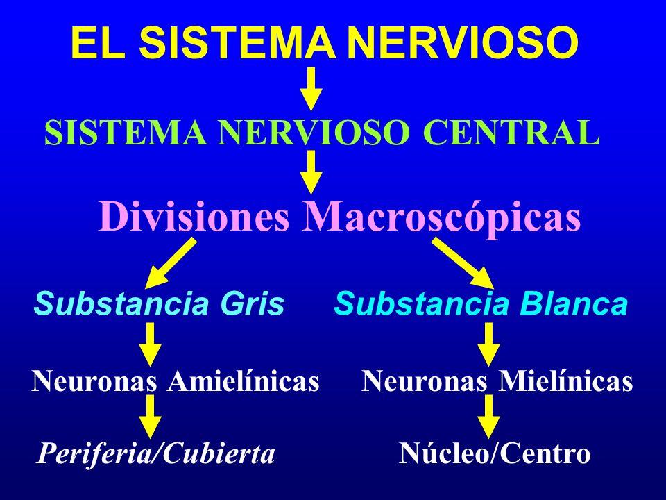 EL SISTEMA NERVIOSO Divisiones Macroscópicas Substancia Gris SISTEMA NERVIOSO CENTRAL Substancia Blanca Neuronas Amielínicas Neuronas Mielínicas Perif