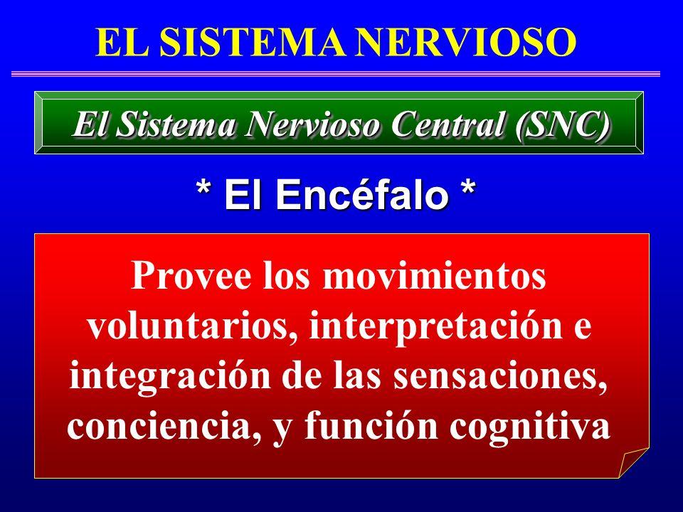 EL SISTEMA NERVIOSO * El Encéfalo * El Sistema Nervioso Central (SNC) Provee los movimientos voluntarios, interpretación e integración de las sensacio