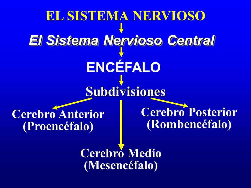 EL SISTEMA NERVIOSO El Sistema Nervioso Central Subdivisiones ENCÉFALO Cerebro Anterior (Proencéfalo) Cerebro Medio (Mesencéfalo) Cerebro Posterior (R