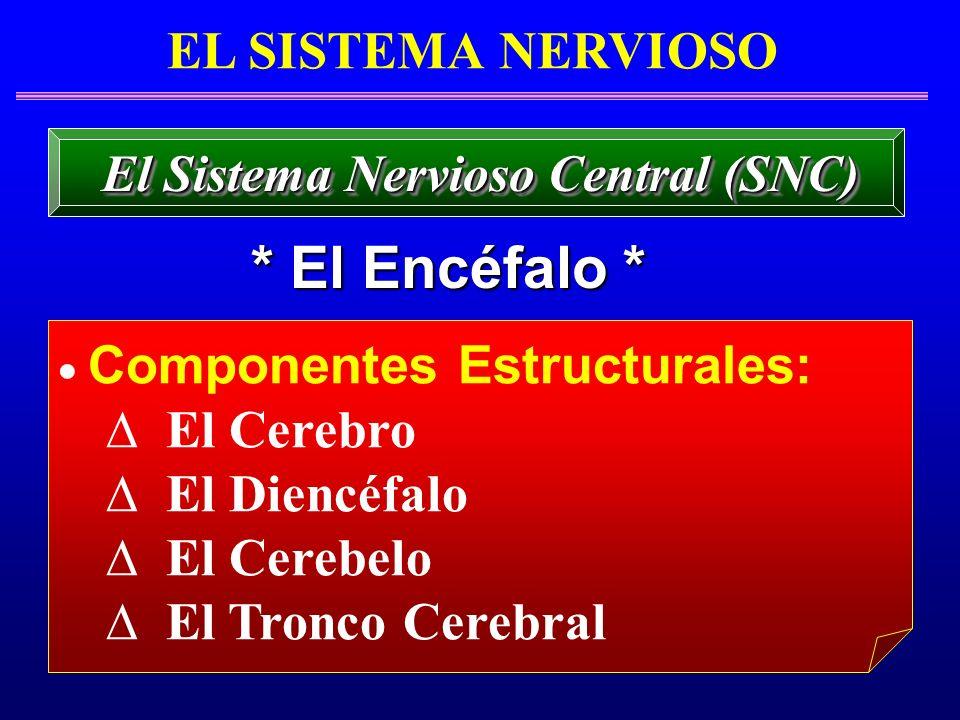 EL SISTEMA NERVIOSO * El Encéfalo * El Sistema Nervioso Central (SNC) Componentes Estructurales: El Cerebro El Diencéfalo El Cerebelo El Tronco Cerebr