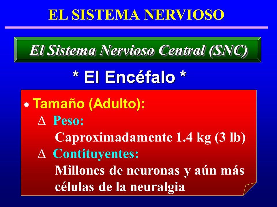 Tamaño (Adulto): Peso: Caproximadamente 1.4 kg (3 lb) Contituyentes: Millones de neuronas y aún más células de la neuralgia EL SISTEMA NERVIOSO * El E