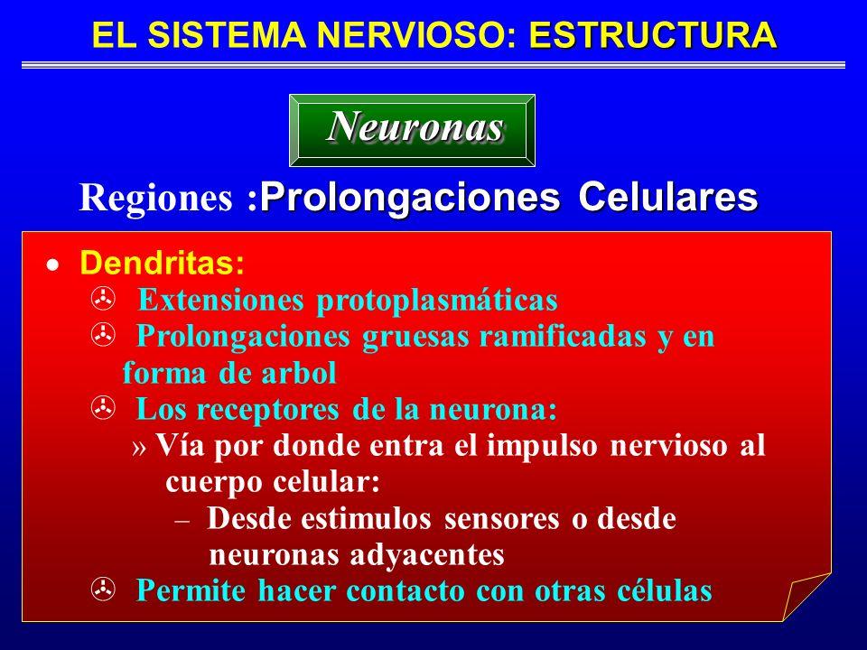 ESTRUCTURA EL SISTEMA NERVIOSO: ESTRUCTURA Prolongaciones Celulares Regiones : Prolongaciones Celulares NeuronasNeuronas Dendritas: Extensiones protop