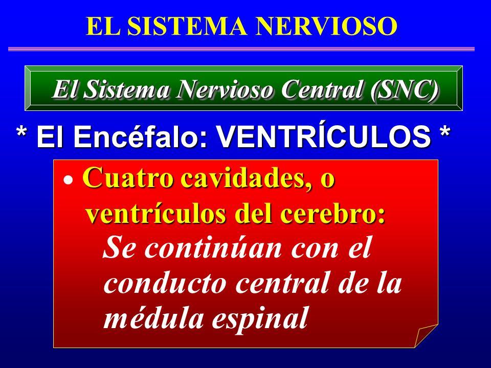 EL SISTEMA NERVIOSO * El Encéfalo: VENTRÍCULOS * El Sistema Nervioso Central (SNC) Cuatro cavidades, o ventrículos del cerebro: ventrículos del cerebr