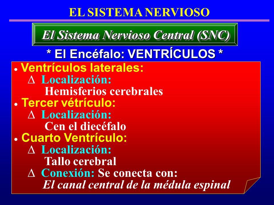 * El Encéfalo: VENTRÍCULOS * El Sistema Nervioso Central (SNC) EL SISTEMA NERVIOSO Ventrículos laterales: Localización: Hemisferios cerebrales Tercer