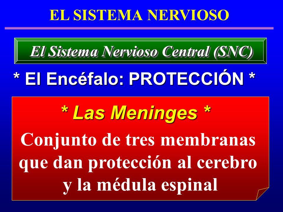 Conjunto de tres membranas que dan protección al cerebro y la médula espinal * Las Meninges * EL SISTEMA NERVIOSO * El Encéfalo: PROTECCIÓN * El Siste