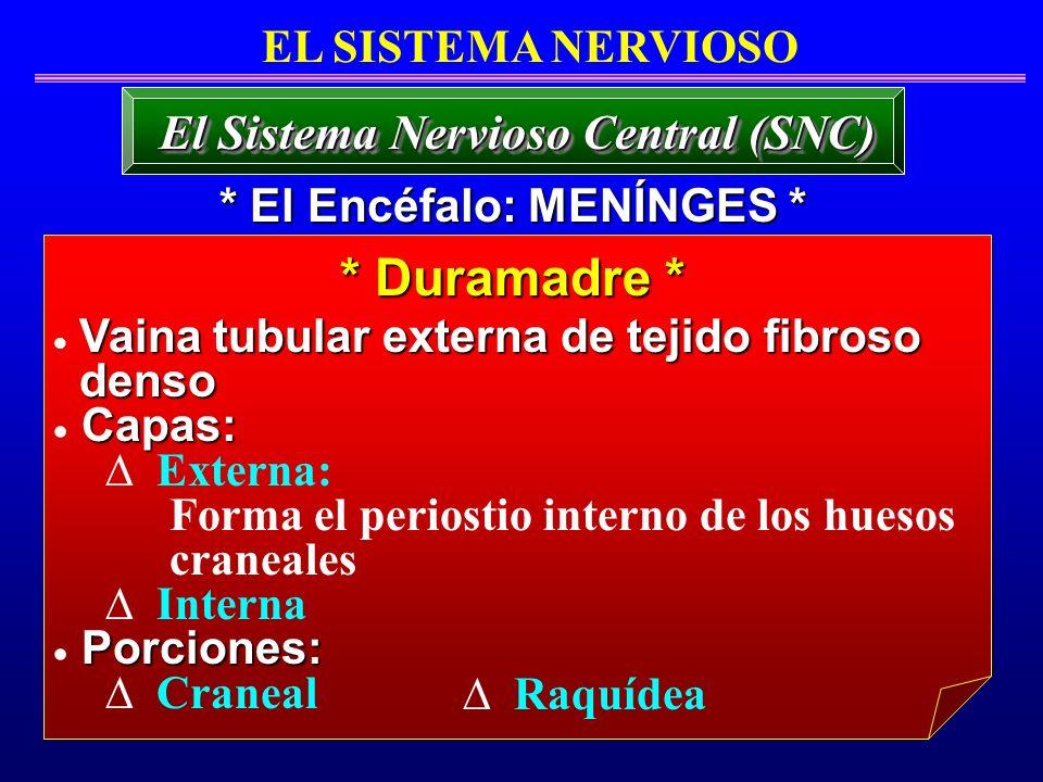 * Duramadre * El Sistema Nervioso Central (SNC) EL SISTEMA NERVIOSO Vaina tubular externa de tejido fibroso denso denso Capas: Externa: Forma el perio
