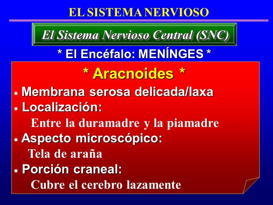 * Aracnoides * El Sistema Nervioso Central (SNC) EL SISTEMA NERVIOSO Membrana serosa delicada/laxa Localización: Entre la duramadre y la piamadre Aspe