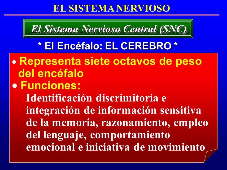 Representa siete octavos de peso del encéfalo Funciones: Identificación discrimitoria e integración de información sensitiva de la memoria, razonamien