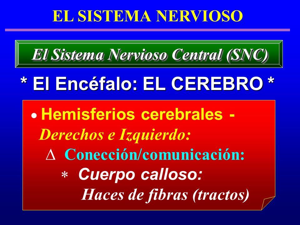 EL SISTEMA NERVIOSO * El Encéfalo: EL CEREBRO * El Sistema Nervioso Central (SNC) Hemisferios cerebrales - Derechos e Izquierdo: Conección/comunicació