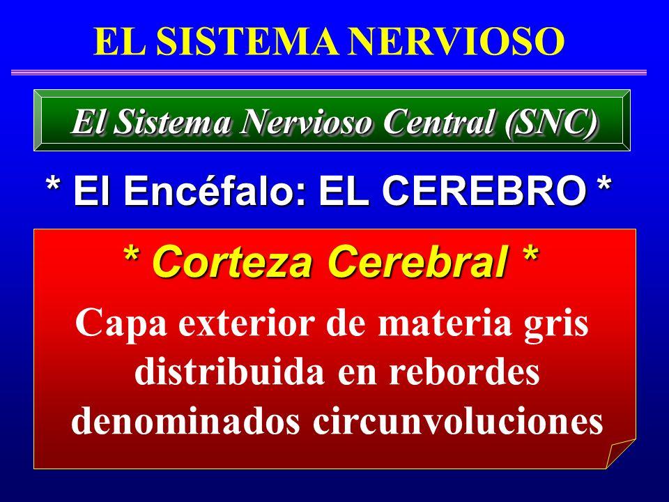 * Corteza Cerebral * * Corteza Cerebral * EL SISTEMA NERVIOSO * El Encéfalo: EL CEREBRO * El Sistema Nervioso Central (SNC) Capa exterior de materia g